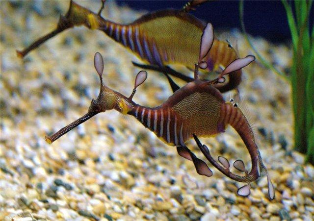 морской конек фото (640x451, 65Kb)