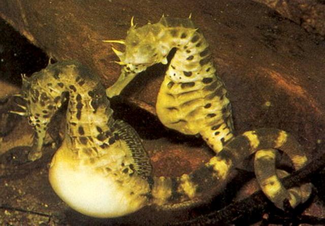 морской конек фото 2 (640x446, 89Kb)