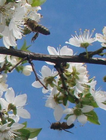пчелки (356x472, 83Kb)