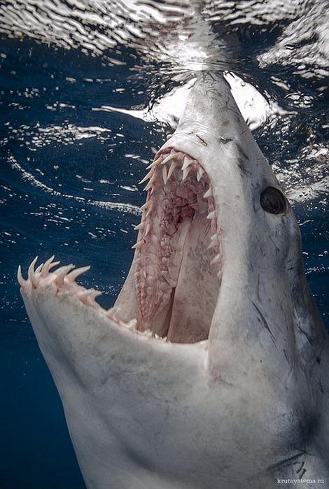 фотографии акул 5 (470x700, 128Kb)