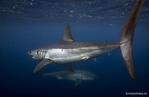 фотографии акул 7 (570x371, 45Kb)
