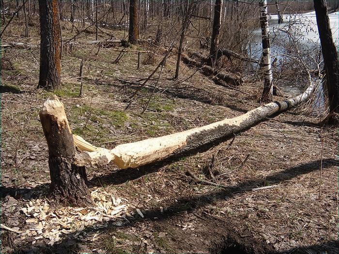 Дерево сваленное бобрами/1415502_DSC00010_kopiya (700x525, 295Kb)