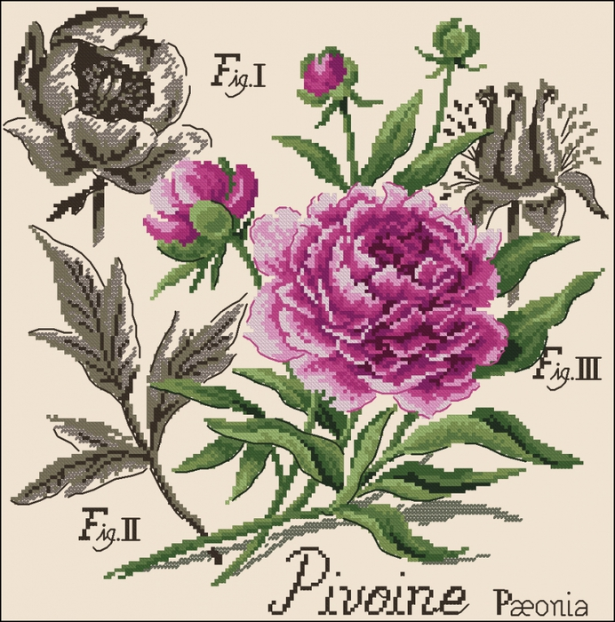 Пион Etudes de Botanigue
