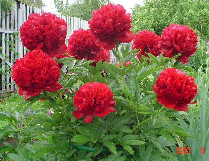 Пересадка плетистой розы весной 5