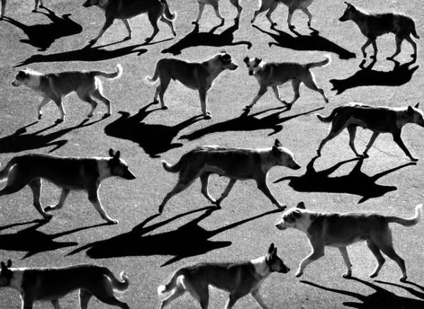 16 Тени отбрасывают собак (600x437, 99Kb)