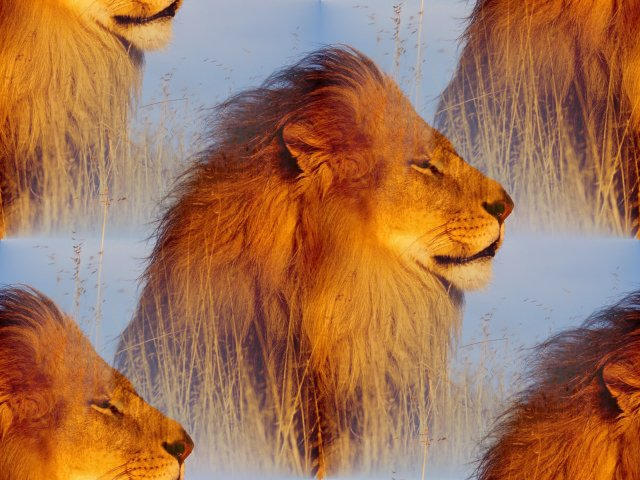 Animals_Beasts_Lion_on_hunting_022754_29 (640x480, 73Kb)