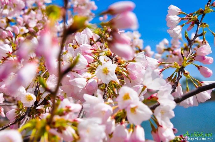 1270164103_42-990x657 цветение вишни (700x464, 283Kb)