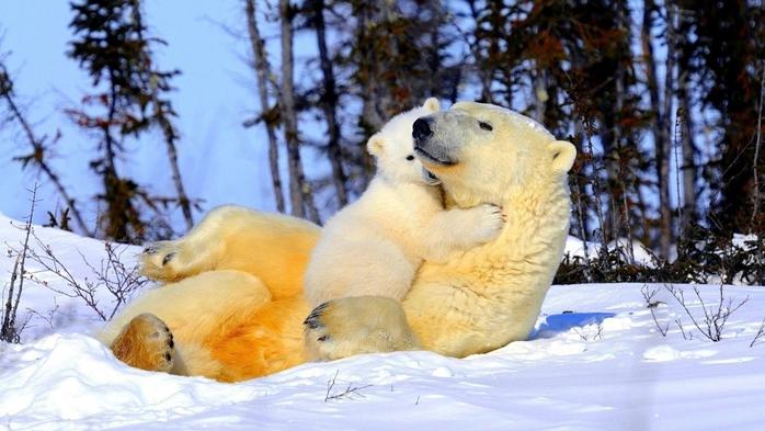медведи обои на айфон