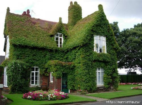 Плющ (Хедера хеликс). Потрясающие композиции для украшения дома и сада (38) (500x370, 129Kb)