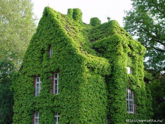 Плющ (Хедера хеликс). Потрясающие композиции для украшения дома и сада (40) (530x397, 201Kb)