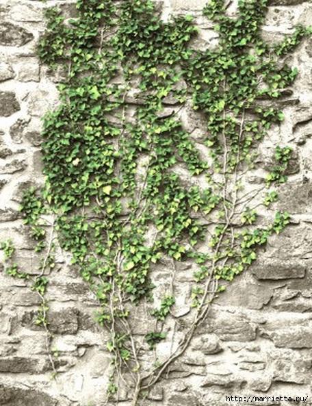 Плющ (Хедера хеликс). Потрясающие композиции для украшения дома и сада (75) (456x593, 259Kb)