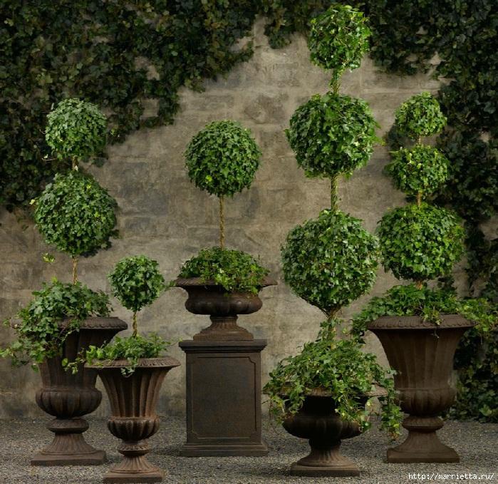 Плющ (Хедера хеликс). Потрясающие композиции для украшения дома и сада (93) (700x679, 395Kb)
