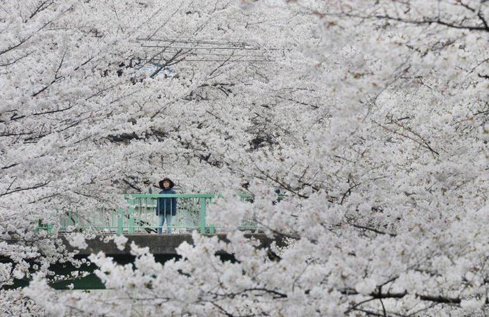 Люди любуются цветущими сакурами в Токио, 24 марта 2013 года (700x454, 81Kb)