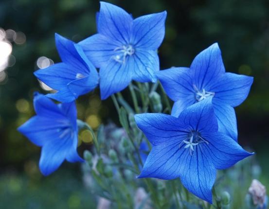 _grandiflorus_Codo_Blue_ (553x430, 97Kb)