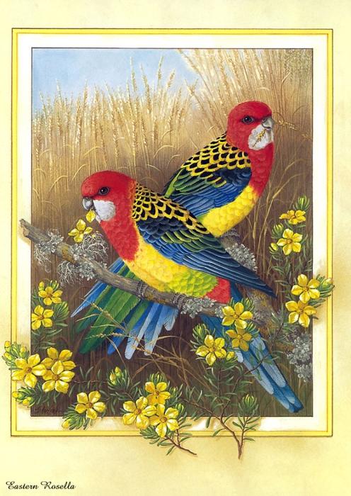 p-Australian_Birds_Cal2003_02 (496x700, 314KB)