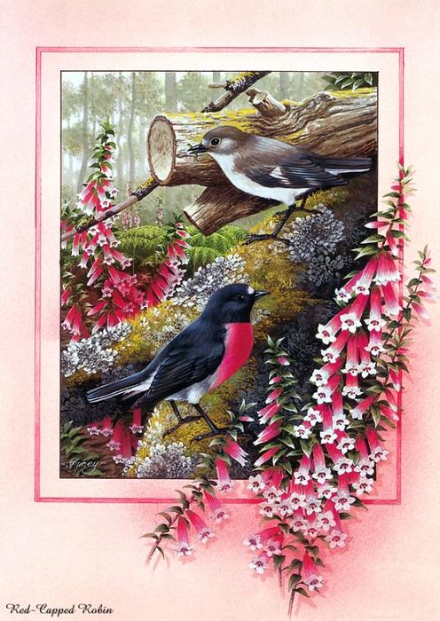 p-Australian_Birds_Cal2003_09 (496x700, 333KB)
