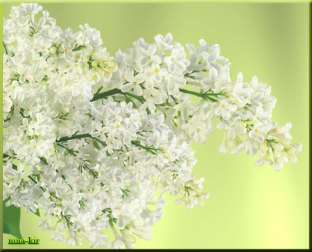 Белая-сирень (450x364, 254Kb)