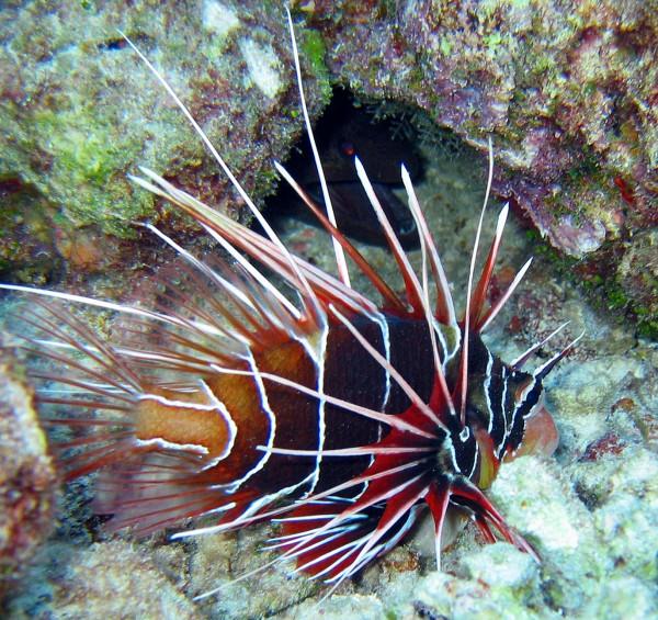 3.Lionfish-600x565 (600x565, 160Kb)