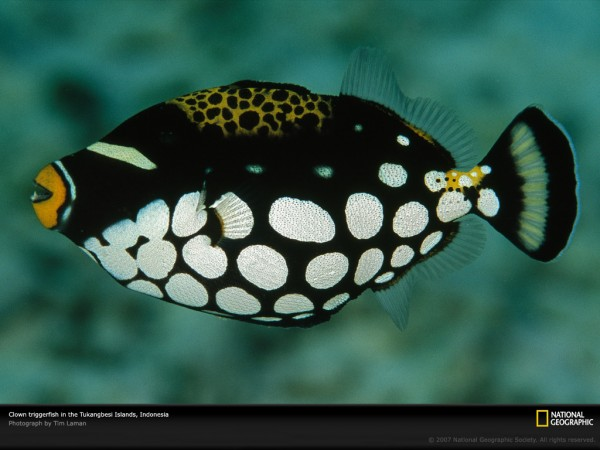 4.clown-triggerfish-600x450 (600x450, 56Kb)