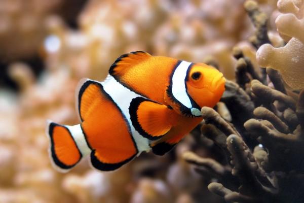 Oceans-Clownfish-600x400 (600x400, 49Kb)