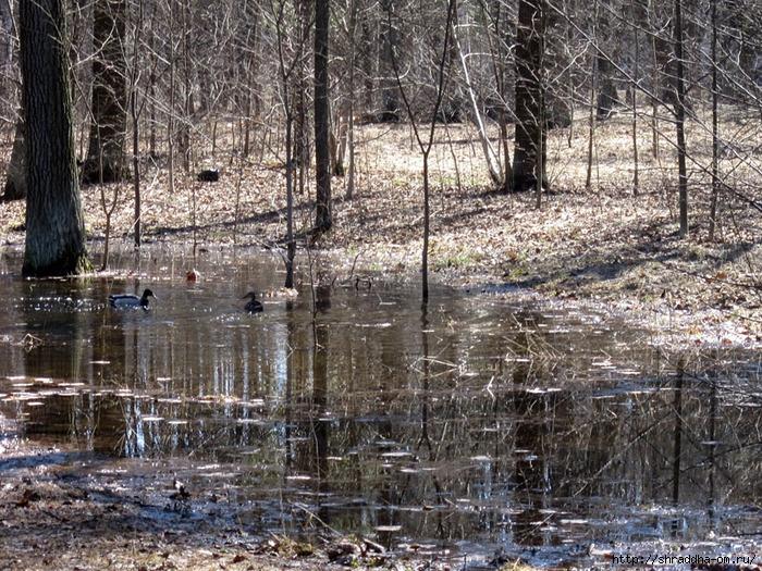уточки в парке при Большом Гатчинском Дворце (1) (700x525, 444Kb)