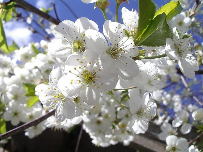 f_11318912 вишня цветёт (700x525, 101Kb)