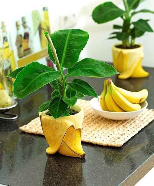 растим банан (500x603, 90Kb)