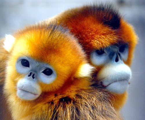 золотистые обезьяны.jpg4 (500x414, 113Kb)