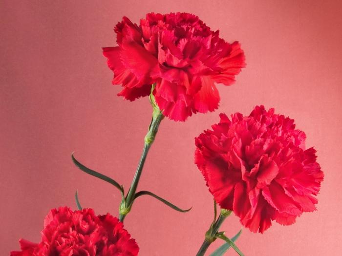 Картинки цветов гвоздики 6