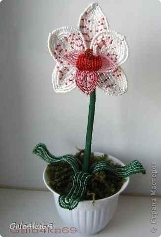 Невская орхидея почему орхидея
