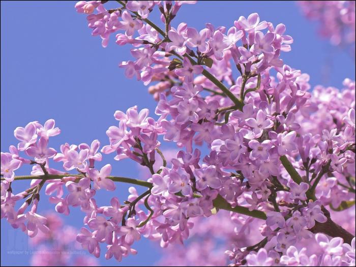 Картинки цветы сирень 1