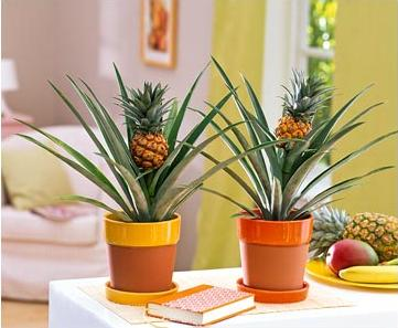 Ananas (361x297, 50Kb)