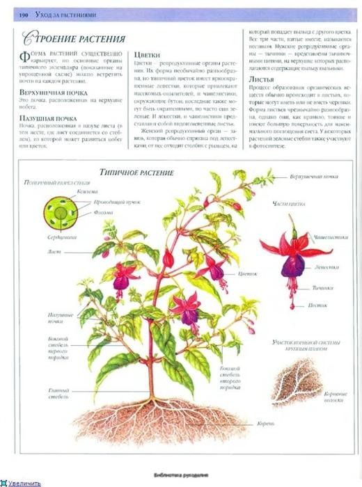 комнатные растения (185) (520x700, 220Kb)