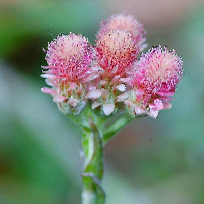 Лапка цветок фото