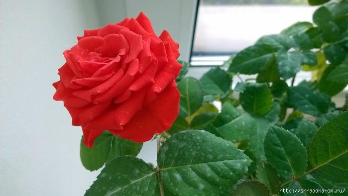 розанн домащний (700x394, 143Kb)