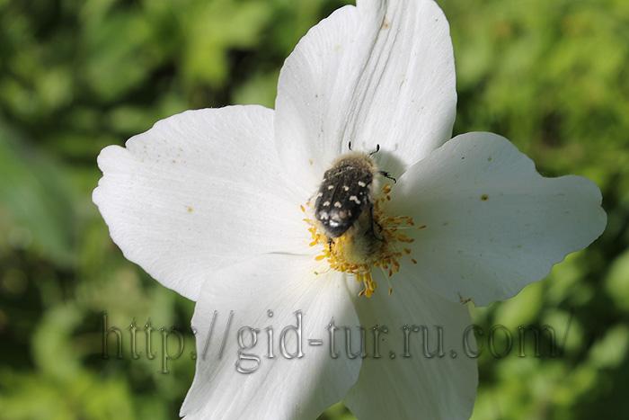 Жук на цветке (700x467, 109Kb)