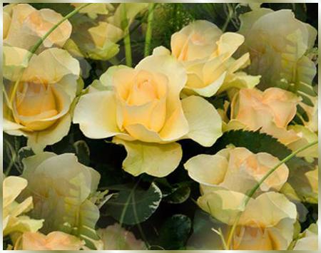 розы-чайные (450x355, 261Kb)