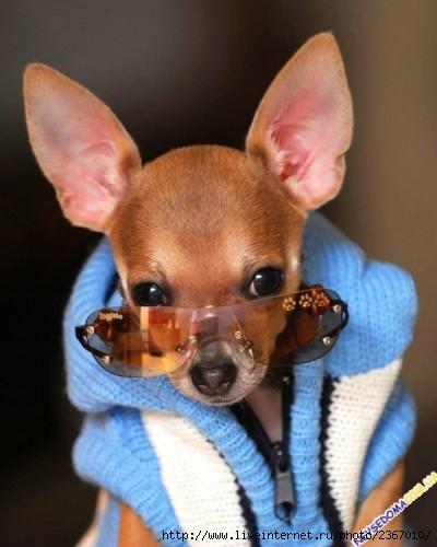 очки собакам (400x500, 102Kb)