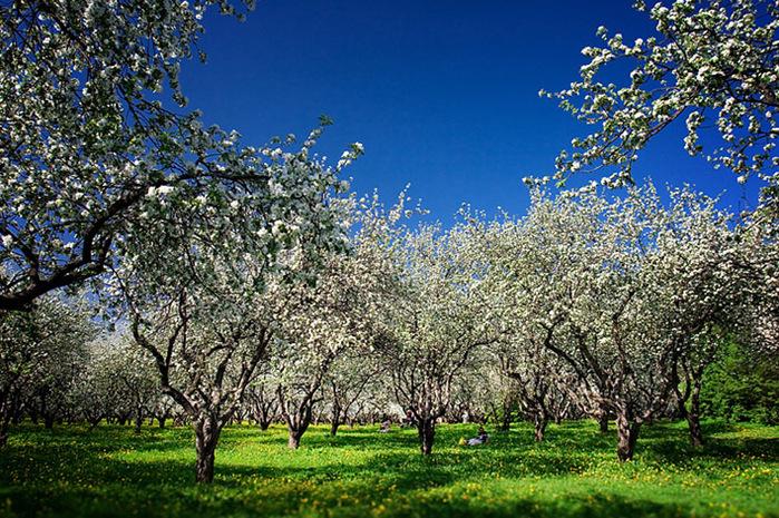 4 яблоневый сад (700x465, 258Kb)
