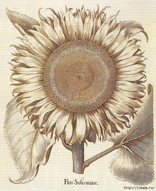 sunflowerbotanical (522x640, 430Kb)