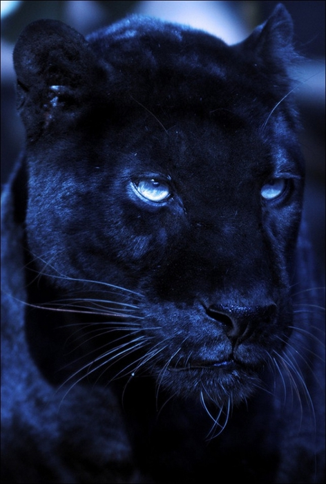 black_panther01 (472x700, 208Kb)