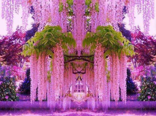Самый известный сад глициний находится в Японии, Асикага, остров Хонсю (537x400, 61Kb)