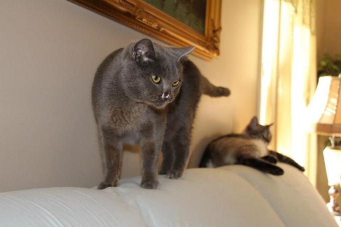 кот с вампирскими клыками 6 (680x453, 49Kb)