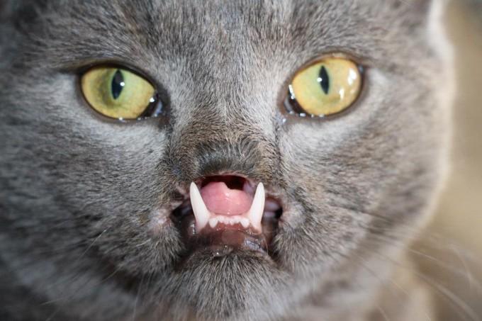 кот с вампирскими клыками 8 (680x453, 79Kb)