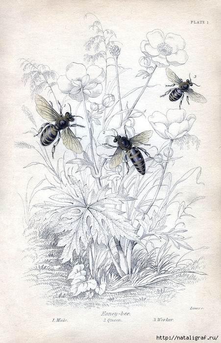 4045361_bee_botanical_vintage_Image_GraphicsFairy5sm (451x700, 289Kb)