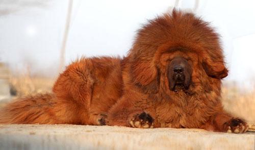 тибетский мастиф фото (500x294, 28Kb)