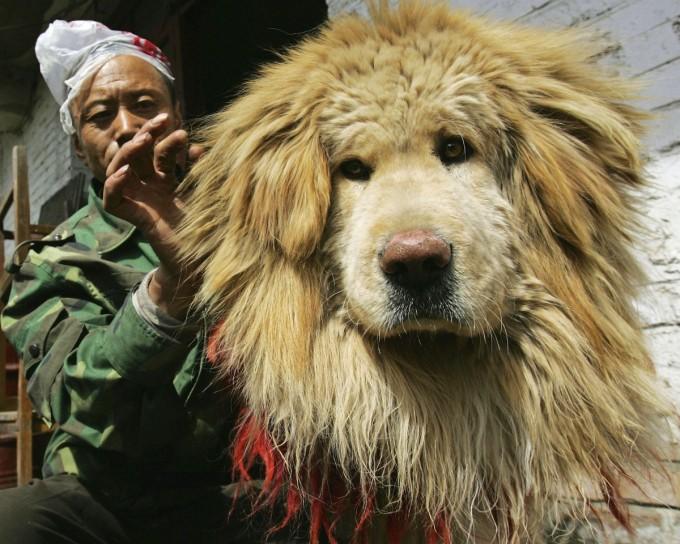 тибетский мастиф фото 2 (680x544, 117Kb)