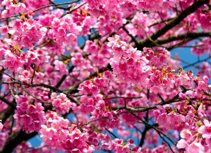 яблоня в цвету (700x507, 201Kb)