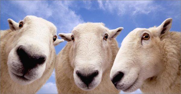 1369033584_sheepclose (600x313, 34Kb)