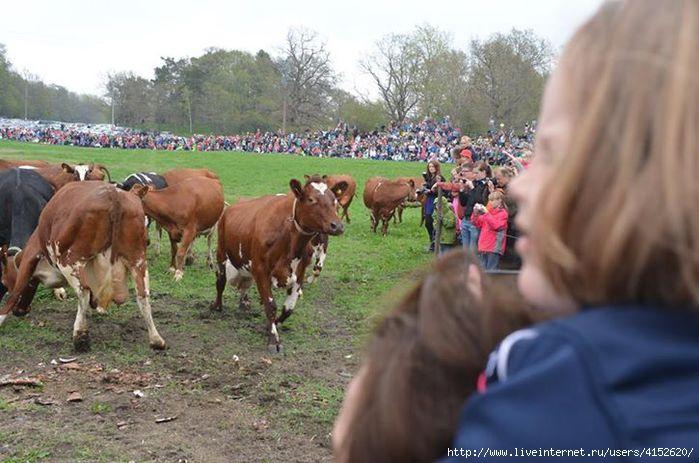 а вот и коровы (700x463, 164Kb)